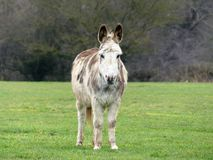 White and brown donkey in countryside field stock image