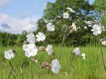 White campion Silene latifolia a dioecious flowering plant. This photo was taken in Chorleywood, Hertfordshire, England, UK royalty free stock photos