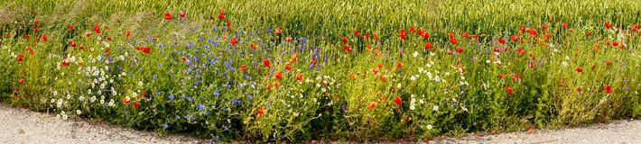 Wildflowers in the field of ripening rye, Europe Royalty Free Stock Photography