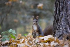 Red squirrel in autumn leaves. Photo was taken in the Czech Republic royalty free stock images