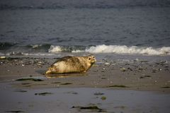 Harbor seal on the beach. Photo was taken in Düne, Helgoland, Germany royalty free stock photography