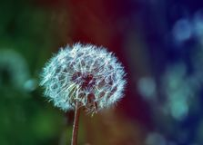 Dandelion after blossom Royalty Free Stock Photo