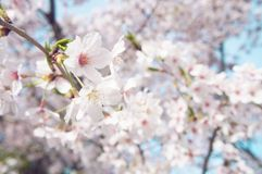 Cherry blossom and Sakura in Japan stock photo