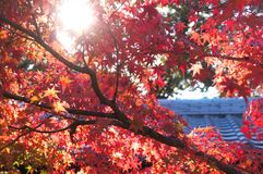Fall maple leaf in Japan royalty free stock images