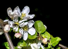 Blossoming apple tree in spring time. The photo was taken in my garden in the spring time Royalty Free Stock Photos