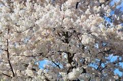 Washington DC Annual Cherry Blossom Festival Royalty Free Stock Photos