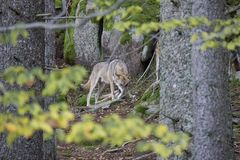 Wolf with cub. stock images