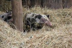 Piglets hidden in hay. stock photo