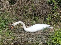 Beautiful swan on nest by side of river stock photo