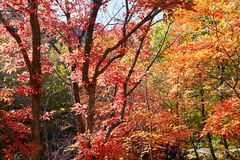The autumn maple forests. The photo was taken in Yanghu gully of Benxi city Liaoning province, China. Benxi city is a capital of maple leaves in aun stock photos