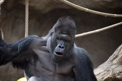 Portrait of Western Gorilla male. Photo was taken in the zoo Stock Image