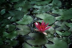 Photo of Water Lily Royalty Free Stock Photography