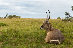A photo of a Waterbuck`s head and neck with grass and sky in the background. Picture taken in Port Elizabeth, South Africa, circa 2017 Royalty Free Stock Images