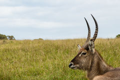 A photo of a Waterbuck`s head and neck with grass and sky in the background. Picture taken in Port Elizabeth, South Africa, circa 2017 Royalty Free Stock Image