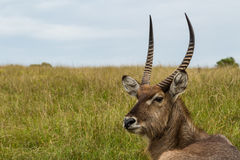 A photo of a Waterbuck`s head and neck with grass and sky in the background. Picture taken in Port Elizabeth, South Africa, circa 2017 Royalty Free Stock Photography