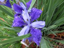Wet Purple Iris Flowers in May in Spring Stock Photography