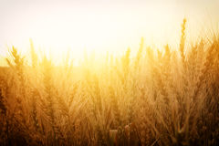 Photo of wheat field at sunset Royalty Free Stock Photos