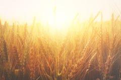 Photo of wheat field at sunset Stock Image