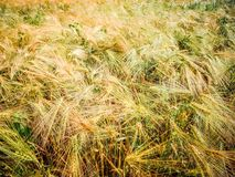 Photo of wheat fields and ears Royalty Free Stock Images