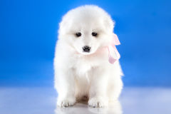 Photo of whelp Samoyed breed Royalty Free Stock Photography