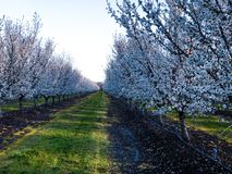 Almond orchard blooms. Photo of white almond tree blooms in Modesto California. Between every row of almond trees are rows of mowed weeds mixed with grass stock image