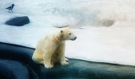 Photo of a white bear stock photography