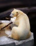 Photo of a white bear stock photo