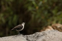 White capped dipper. This is a photo of a white capped dipper taken in Ecuador Royalty Free Stock Images
