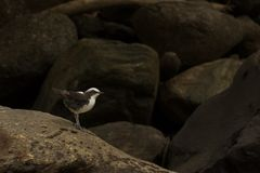 White capped dipper. This is a photo of a white capped dipper taken in Ecuador Royalty Free Stock Photos