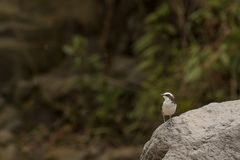 White capped dipper. This is a photo of a white capped dipper taken in Ecuador Royalty Free Stock Image