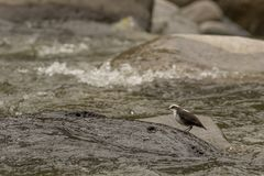 White capped dipper. This is a photo of a white capped dipper taken in Ecuador Royalty Free Stock Photo