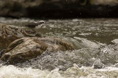 White capped dipper. This is a photo of a white capped dipper taken in Ecuador Stock Photography