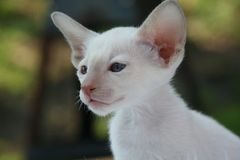 Photo of White Cat Royalty Free Stock Photo