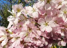Cherry Blossoms Have Just Arrived royalty free stock photos