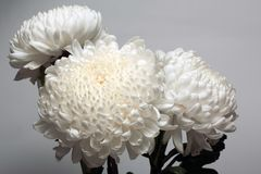 A photo of white chrysanthemum flower in glass vase on white background with gradient shadow. A photo of white chrysanthemum flower in glass vase on white Royalty Free Stock Photo