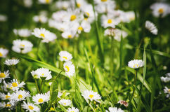 Photo of the White Daisies Field and Grass Stock Images