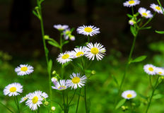 Photo of the white daisies on green background. Photo of the white beautiful daisies on green background Stock Photography