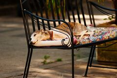 Photo of a White Grey and Brown Short Coated Dog Laying on a Black Metal Frame Multi-colored Padded Armchair Royalty Free Stock Photo