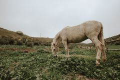 Photo of White Horse Grazing on Green Grass Field. stock image