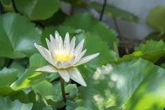 Photo of white lotus blooming. White Lotus Bloom in the morning very beautiful so much stock image
