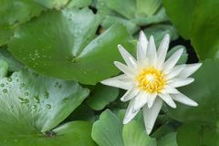 Photo of white lotus blooming. White Lotus Bloom in the morning very beautiful so much stock photo