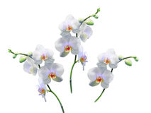 Photo of white orchids on a branch. Stock Images