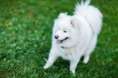 Photo of white spitz on walk on green lawn. At summer day Royalty Free Stock Image