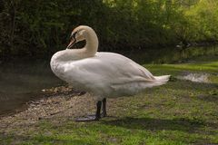 Photo A White Swan On The River Bank In Arundel, English Country Side In West Sussex Stock Image