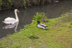 Photo A White Swan In The River With Two Ducks On The River Bank In Arundel, English Country Side In Stock Photography