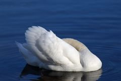 Swan Swimming in the Lake. Photo of white swan swimming in blue lake at sunshine stock photo