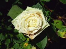 Photo of a white tea rose on top against the background of green foliage of a bush in sunny weather stock photography