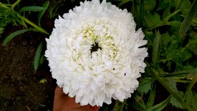 Photo of a white terry Aster flower. stock photos