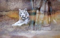 Photo white tiger Stock Photo