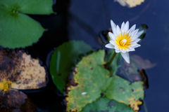 Photo of white water lily Stock Images